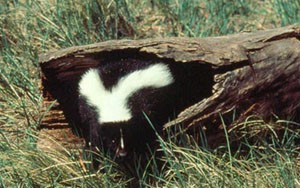 Skunk in a hollowed out tree trunk on the grass