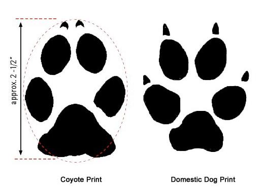 Paw Prints with diameter and comparison domestic dog print